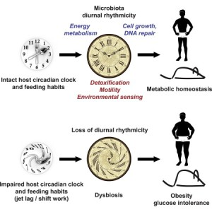 Circadian microbiota graphical abstract