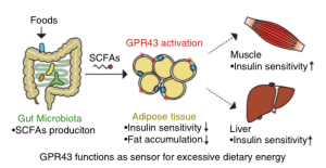 Short Chain Fatty Acids Protect Against Obesity