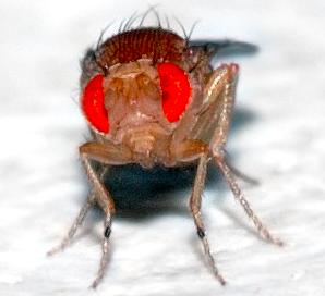 D. melanogaster