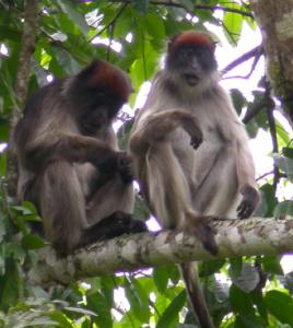 Uganda red colobus