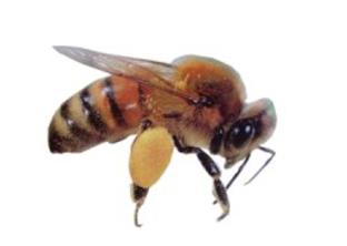 Honeybee Apis mellifera