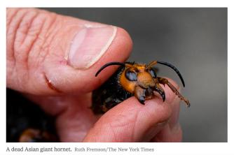 Asian giant hornet Vespa mandarinia